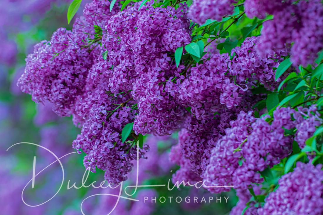 Loads of Lilacs