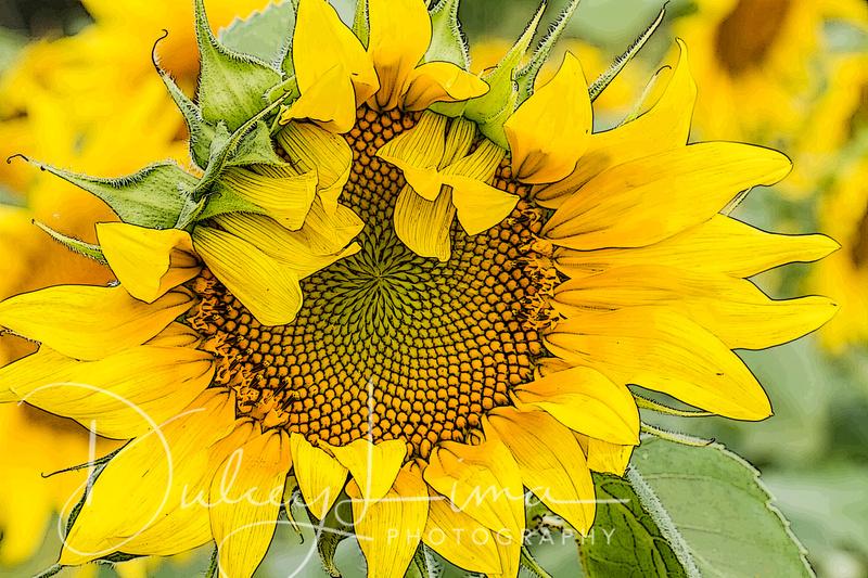 Sunflower, Mathieson State Park, Illinois