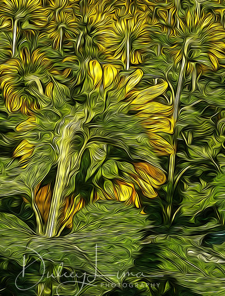 Sunflowers, sunflower backs, Mathieson State Park, Illinois