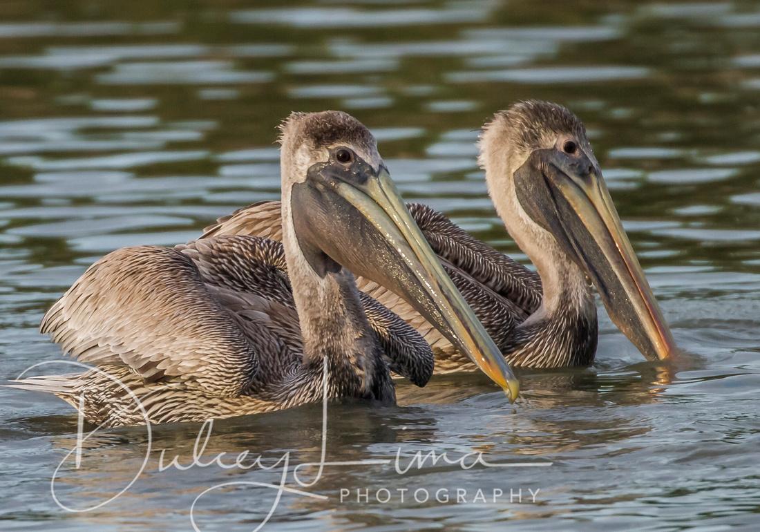 Two Juvenile Brown Pelicans