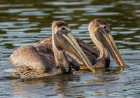 Two Juvenile Brown Pelicans