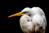 Great White Egret in Profile